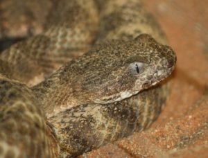 The Top 10 Deadliest Snakes in North America